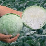 Анкома F1 (калибр.) семена капусты б/к поздней 120-130 дн. 2,5-4 кг окр. (Rijk Zwaan)