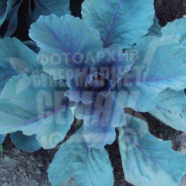 Родима F1 (калибр.) семена капусты к/к поздней 120-140 дн. 2-4 кг (Rijk Zwaan)