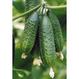 Палех F1 семена огурца партенокарп. раннего 45-50 дн. 12-14 см (Гавриш) НЕТ СЕМЯН
