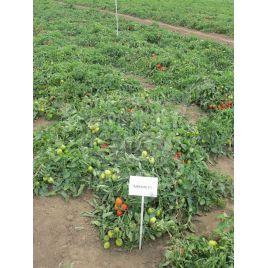 Адванс F1 семена томата дет. средн. 110-120 дн. слив. 70-80 гр. (Nunhems)