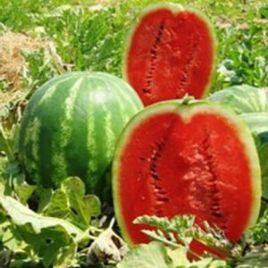 Топ Мара F1 семена арбуза тип Кримсон Свит раннего 65 дней 12-16 кг окр. (United Genetics)