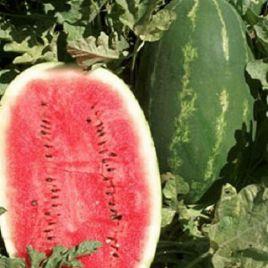 Эрли Саманта F1 семена арбуза тип Кримсон Свит раннего 65-70 дней 9-11 кг (United Genetics)