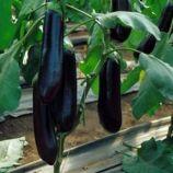 Найт Леди F1 семена баклажана (United Genetics)