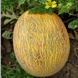 Ананас семена дыни ранней 2-2,5 кг овал. (United Genetics)