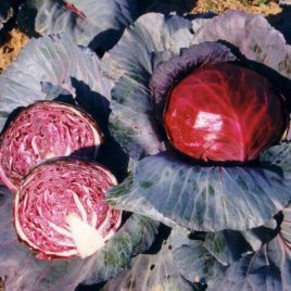 Фуего F1 семена капусты к/к среднепоздней 2-3 кг (Сlause)