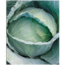 Мостар F1 семена капусты б/к средней 3-5 кг окр. (May Seeds) НЕТ СЕМЯН