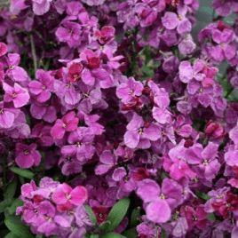 Абсолют Purple Bicolour семена желтофиоля (Kitano Seeds)