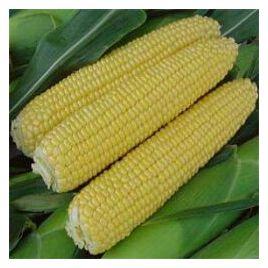 Тести Свит F1 семена кукурузы суперсладкой Sh2 ранней 75дн. 20см (Wing Seed)