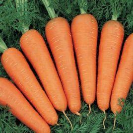 Фиго F1 семена моркови Берликум (Tezier)