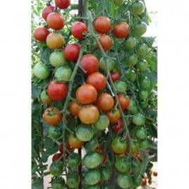 Шерола F1 семена томата индет. черри (Moravoseed)