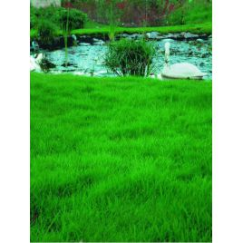 Быстрорастущая семена газонной травы (RAGT) НЕТ СЕМЯН
