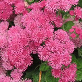 Мексиканский агератум розовый семена (Moravoseed)