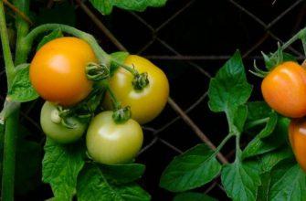 Вредители томатов фото