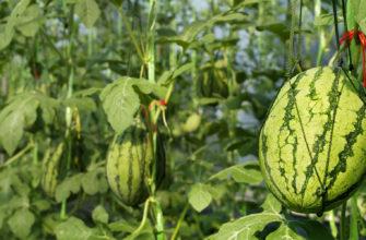 арбуз в теплице выращивание