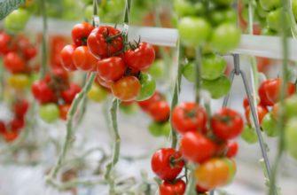 сорта томата для теплиц