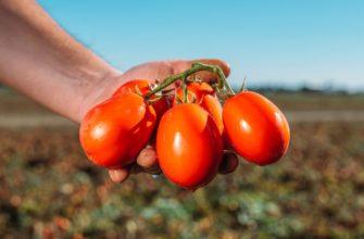 томат помидор полевые детерминантные низкорослые сорта гибриды