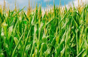 болезни и вредители сахарной и сладкой кукурузы