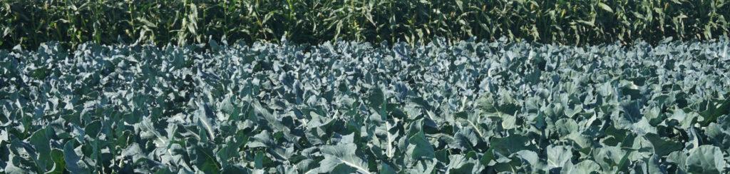 брокколи выращивание летом