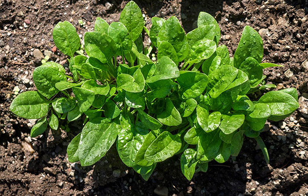 шпинат матадор выращивание из семян