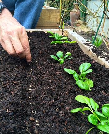 шпинат выращивание из семян в открытом грунте
