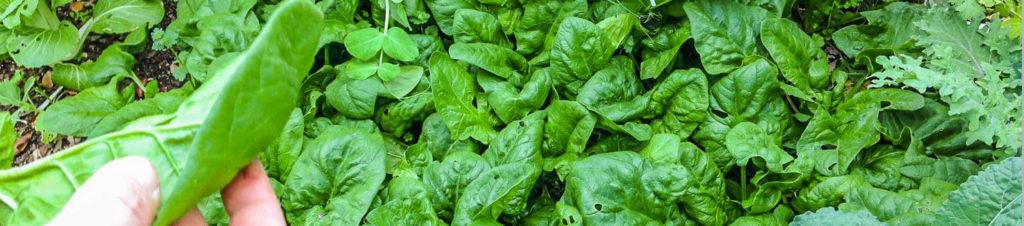 шпинат жирнолистный выращивание и уход в открытом грунте