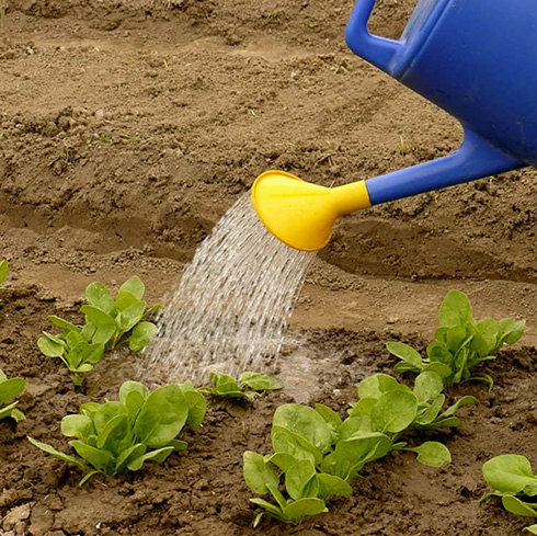 шпинат агротехника выращивания