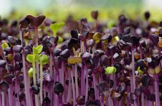 микрозелень способы выращивания как выращивать