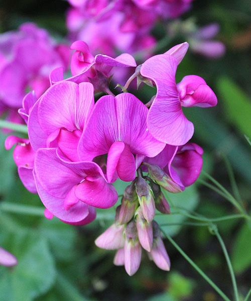 цветы чины