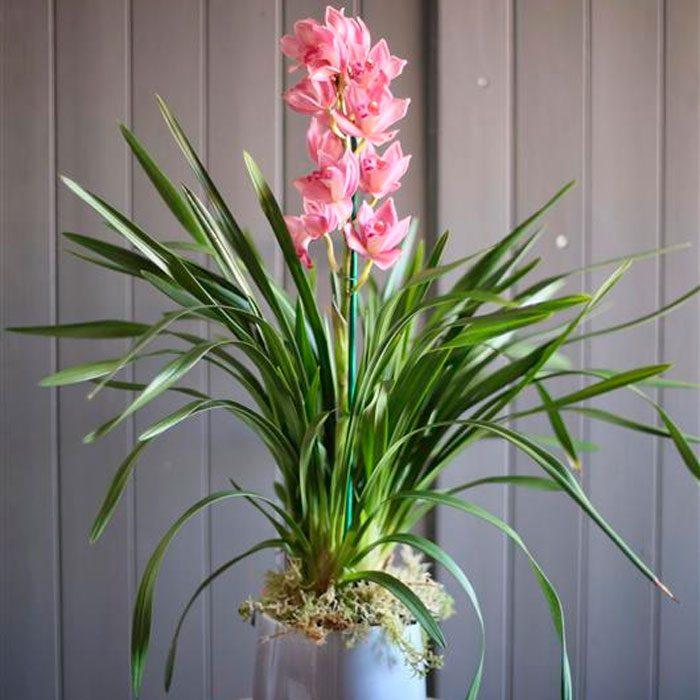 орхидея цимбидиум выращивание