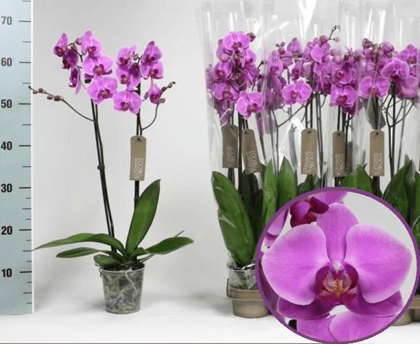 какую орхидею выбрать