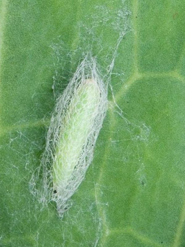 вредители капусты фото капустная моль
