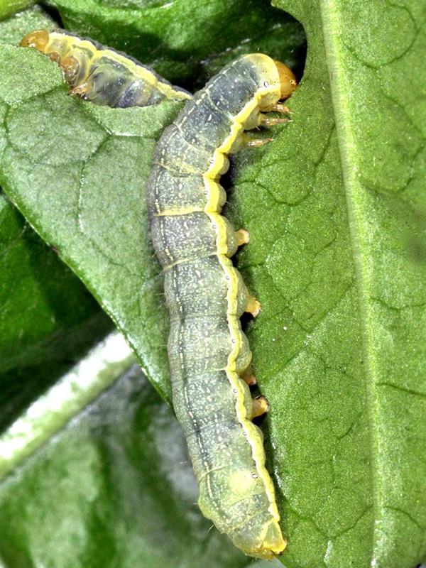 вредители капусты фото капустная совка гусеница