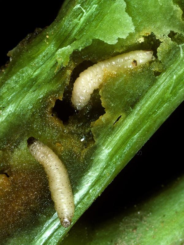 вредители капусты фото стеблевой скрытнохоботник личинки