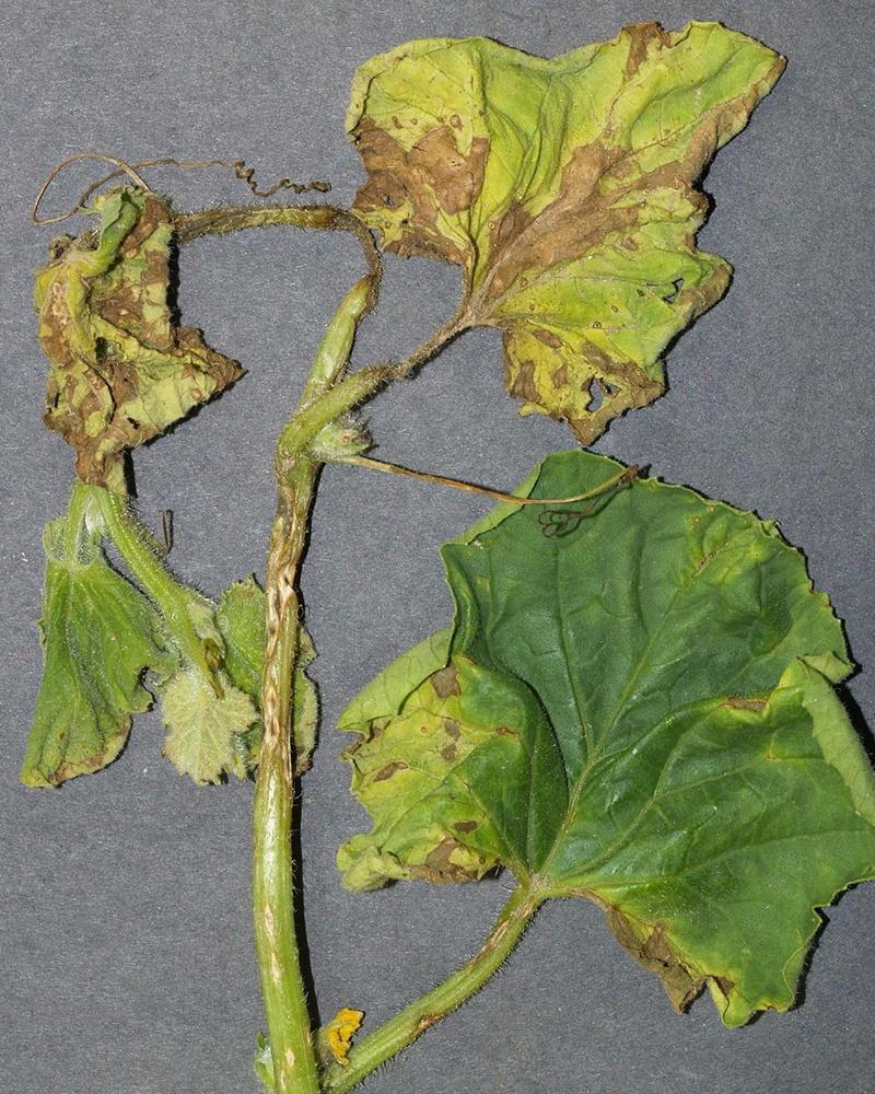 оливковая пятнистость на листьях огурца