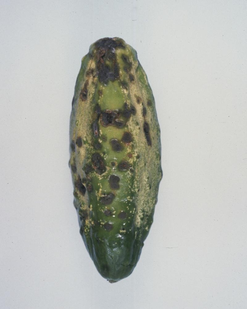 кладоспориоз огурца плод
