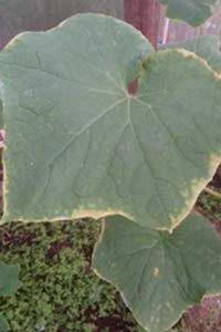 краевой некроз листьев огурца