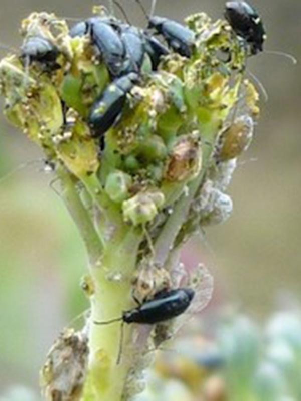 вредители капусты фото крестоцветные блошки