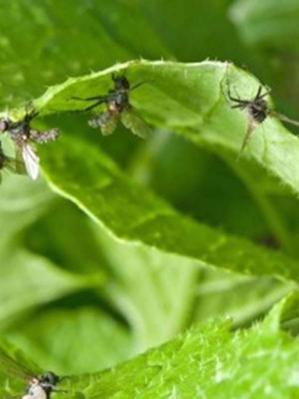 вредители капусты фото летняя капустная муха