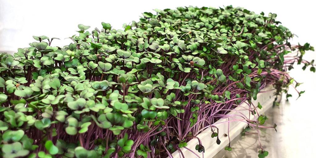 микрозелень бизнес-идея