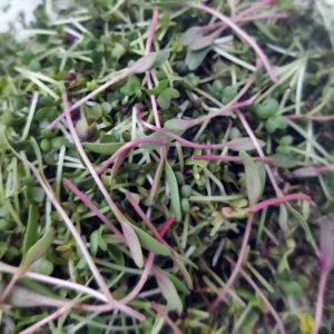 как зарабатывать на микрозелени