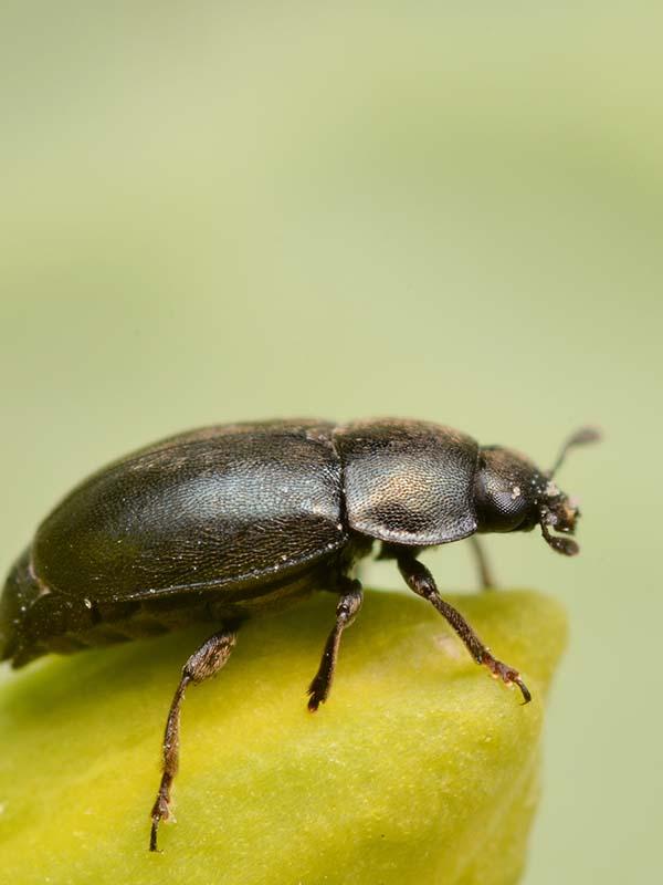 вредители капусты фото рапсовый цветоед жук