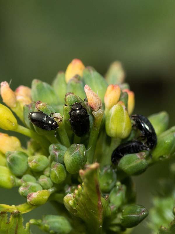 вредители капусты фото рапсовый цветоед жуки