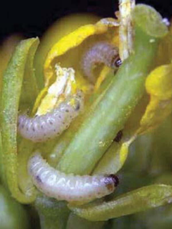 вредители капусты фото рапсовый цветоед личинки