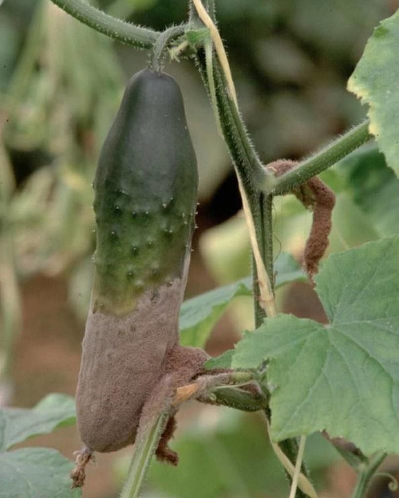 болезни огурцов фотографии серая гниль плод