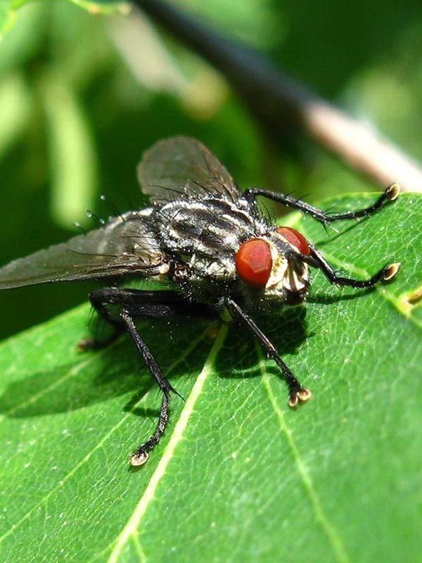 вредители капусты фото весенняя капустная муха