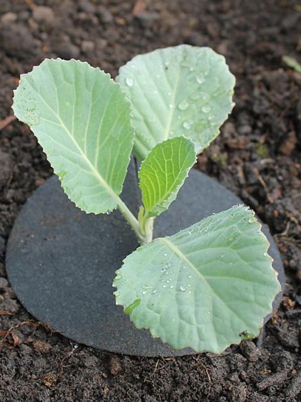 методы защиты от весенней капустной мухи
