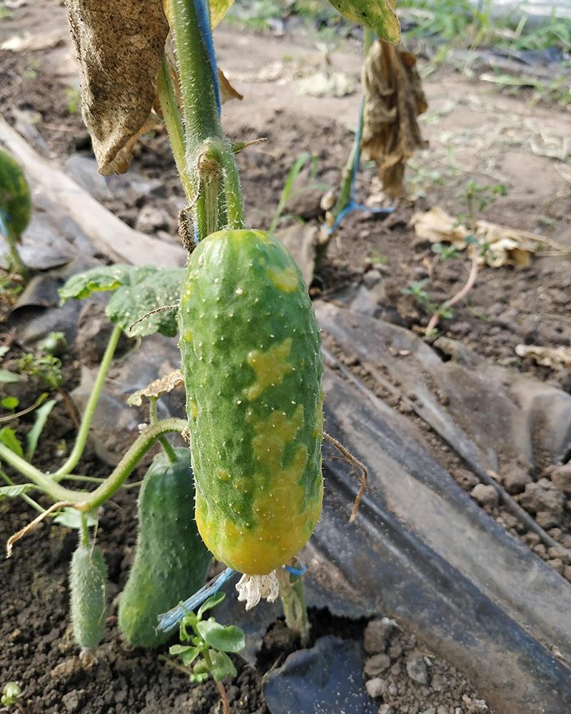 вирус крапчатой английской зеленой мозаики огурца