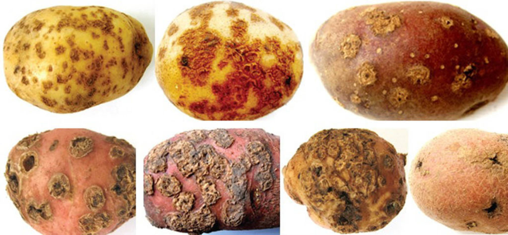 виды парши на картофеле