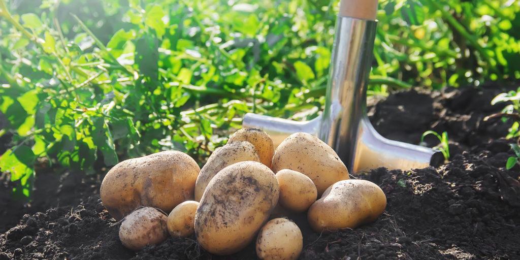 картофель фото лечение парши
