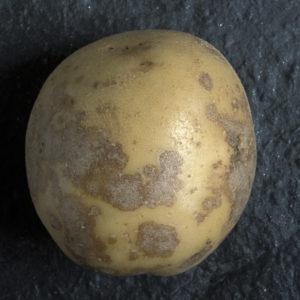 серебристая парша на картофеле